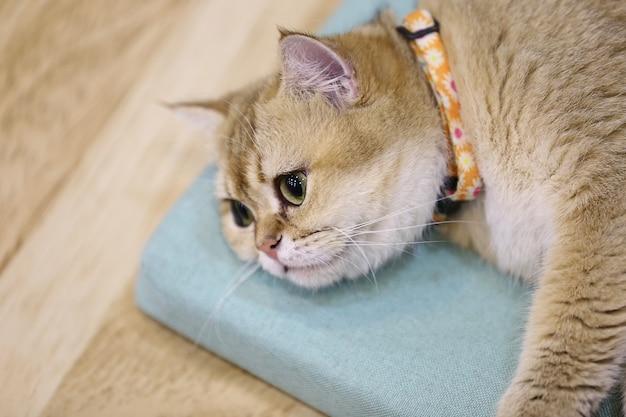 Retrato de um gato escocês reta, closeup
