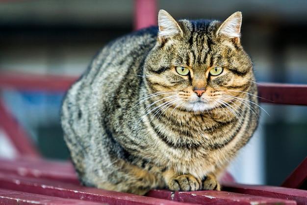 Retrato de um gato gordo listrado com olhos verdes
