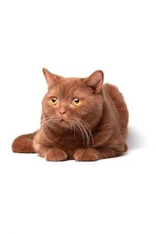 Retrato de um gato, olhos amarelos brilhantes, um olhar brincalhão.