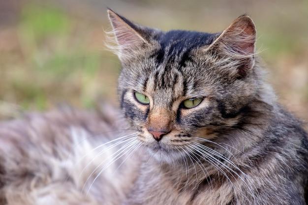 Retrato de um gato peludo olhando de perto em um fundo desfocado