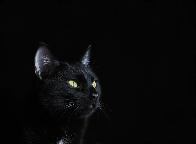 Retrato de um gato preto com olhos amarelos