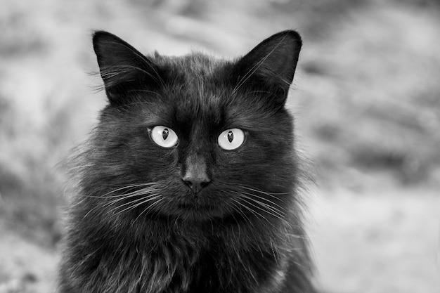 Retrato de um gato preto com um olhar atento, foto em preto e branco