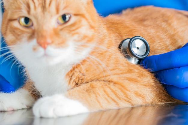 Retrato de um gato ruivo engraçado na mesa da sala de cirurgia. conceito de medicina veterinária. mídia mista