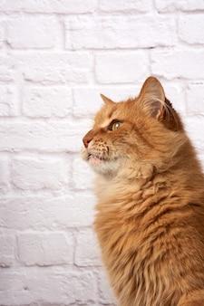 Retrato de um gato ruivo fofo adulto em uma parede de tijolos brancos