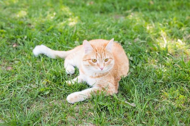 Retrato de um gato ruivo fofo deitado em um prado verde ensolarado em uma noite quente de verão