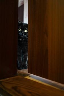 Retrato de um gato shorthair escocês. o gato olha de brincadeira para a porta
