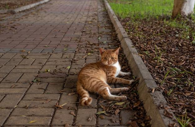 Retrato de um gato vadio ginjer no parque. foto de perto em alanya, turquia.