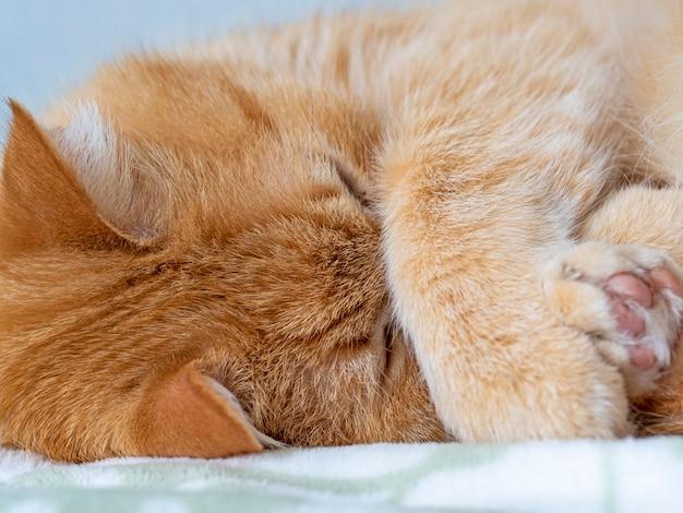 Retrato de um gato vermelho dormindo em um cobertor macio que cobre o focinho com uma pata