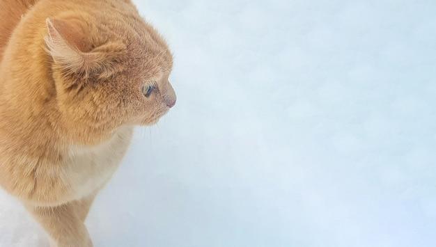 Retrato de um gato vermelho fofo na neve, close-up, banner, lugar para texto