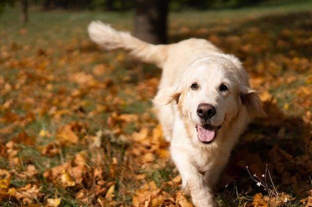 Retrato de um golden retriever bonito na folhagem de outono caída