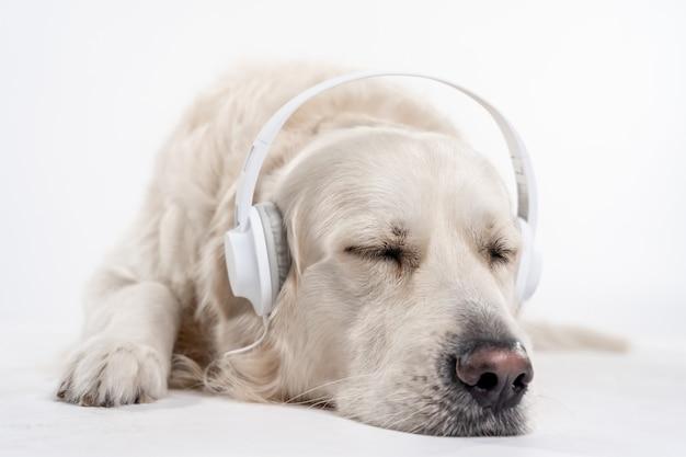 Retrato de um golden retriever branco adormecido com fones de ouvido brancos deitado no chão