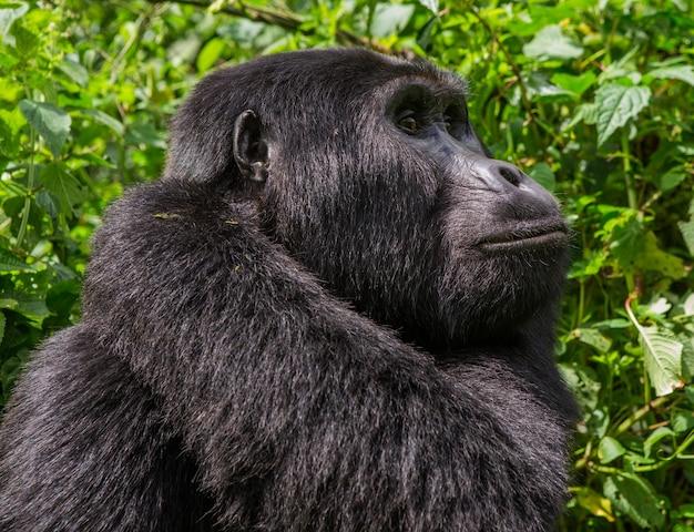 Retrato de um gorila da montanha. uganda. parque nacional da floresta impenetrável de bwindi.