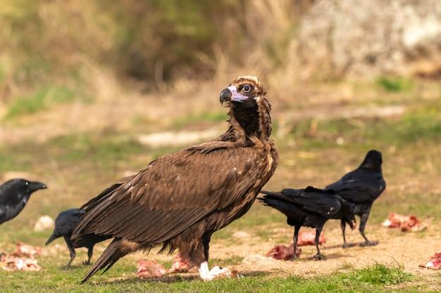 Retrato de um grande abutre na natureza e alguns corvos