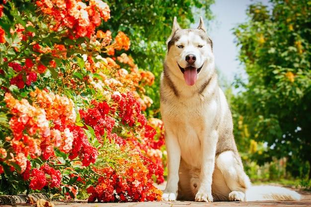 Retrato de um husky siberiano. o cão senta-se perto de rosas florescendo. cães nórdicos no verão.