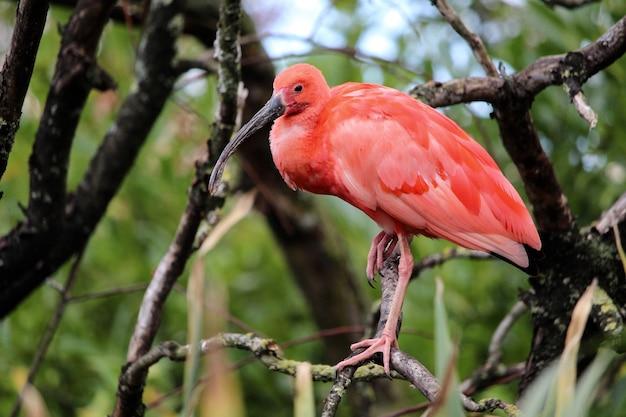 Retrato de um íbis rosa em um galho de árvore