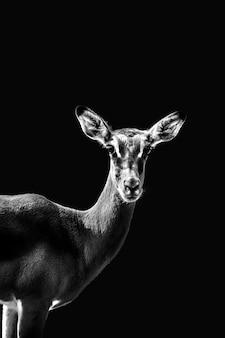 Retrato de um impala em tons de cinza