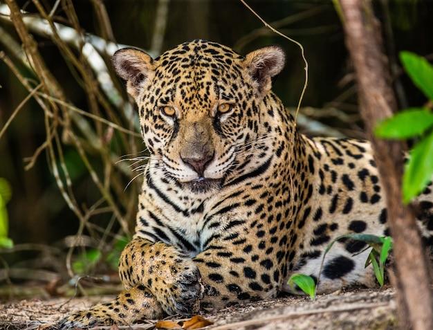 Retrato de um jaguar na selva
