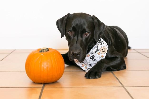 Retrato de um jovem bonito labrador preto bonito vestindo um bandana de halloween. ao lado de uma abóbora