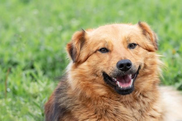 Retrato de um jovem cachorro peludo marrom em um fundo de grama verde