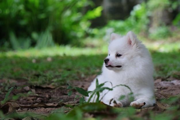 Retrato de um jovem cão bonito da pomerânia branco sentado no chão com grama verde e procurando alguma coisa.