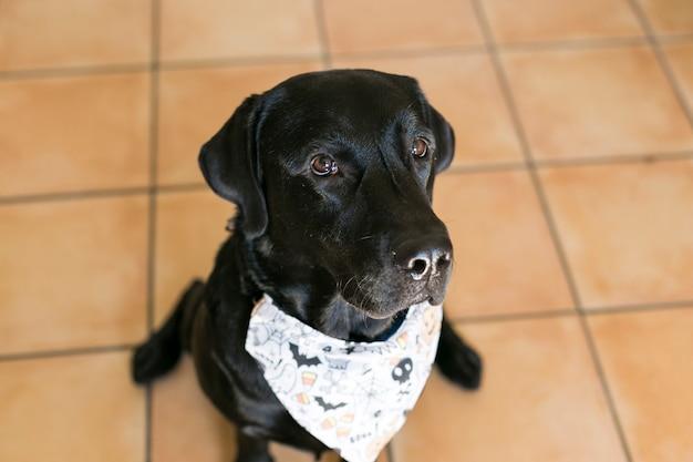 Retrato de um jovem cão labrador preto bonito posando com uma bandana de halloween