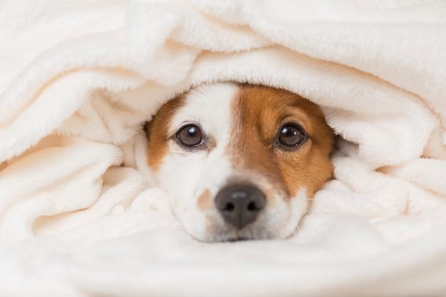 Retrato de um jovem cão pequeno bonito com um cobertor branco cobrindo-o