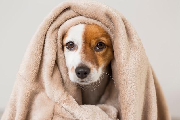 Retrato de um jovem cão pequeno bonito com um lenço cobrindo-o