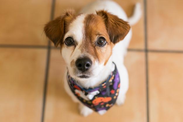 Retrato de um jovem cão pequeno bonito posando com uma bandana de halloween
