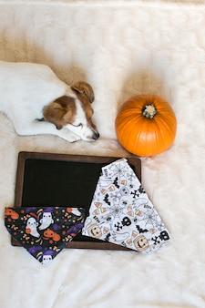 Retrato de um jovem cão pequeno bonito posando na cama com um bandana de halloween, uma abóbora e um quadro negro. interior