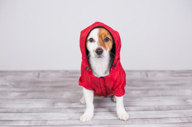 Retrato de um jovem cão pequeno bonito vestindo um casaco de água vermelha com capuz