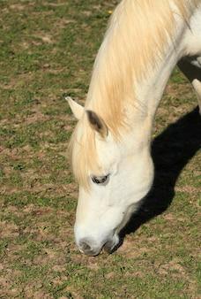 Retrato, de, um, jovem, cavalo branco, em, um, prado