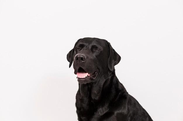 Retrato de um labrador preto bonito que sente feliz e relaxado. .