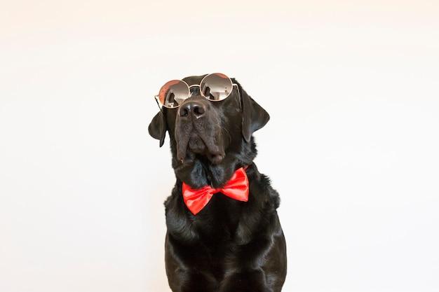 Retrato de um labrador preto jovem bonito vestindo uma gravata borboleta vermelha e óculos de sol modernos. ele está olhando para a câmera. fundo branco