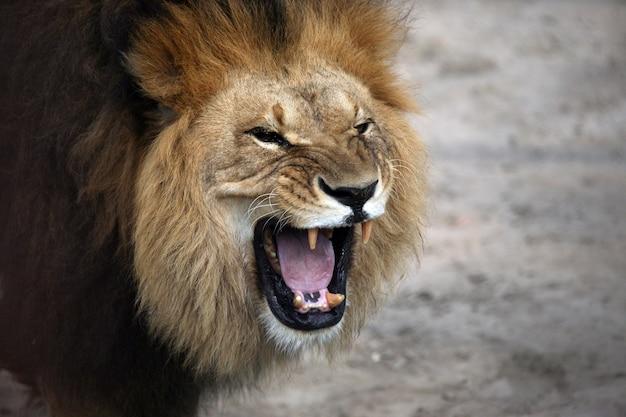Retrato de um leão africano rosnando