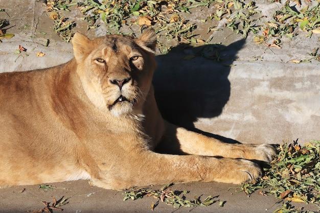 Retrato de um leão animal predador no zoológico