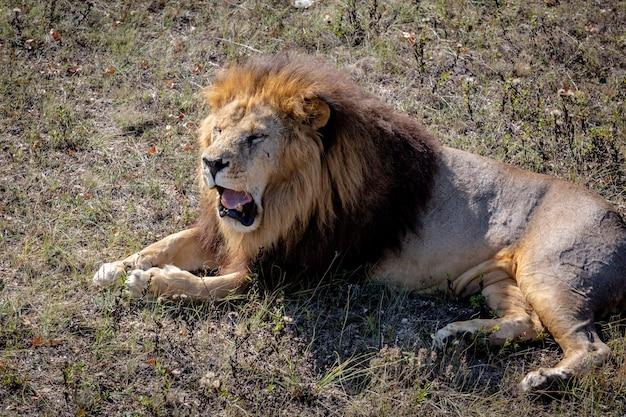 Retrato de um leão que ruge selvagem. o leão está deitado na grama seca. taigan park