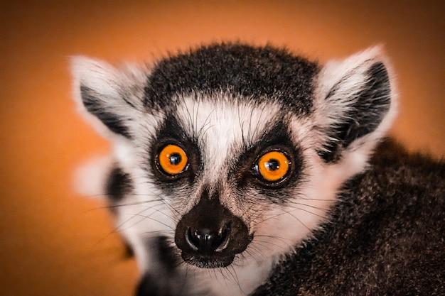 Retrato de um lêmure close-up
