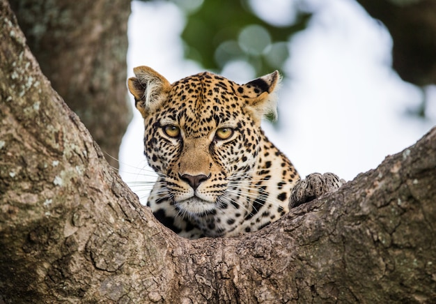 Retrato de um leopardo na natureza