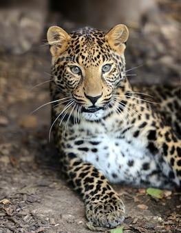 Retrato de um leopardo na selvagem savana africana