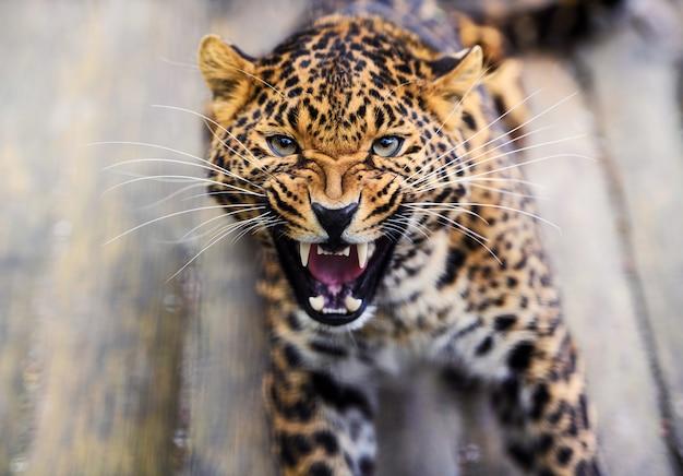 Retrato de um leopardo rugindo furioso