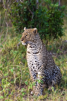 Retrato de um leopardo sentado. masai mara, áfrica