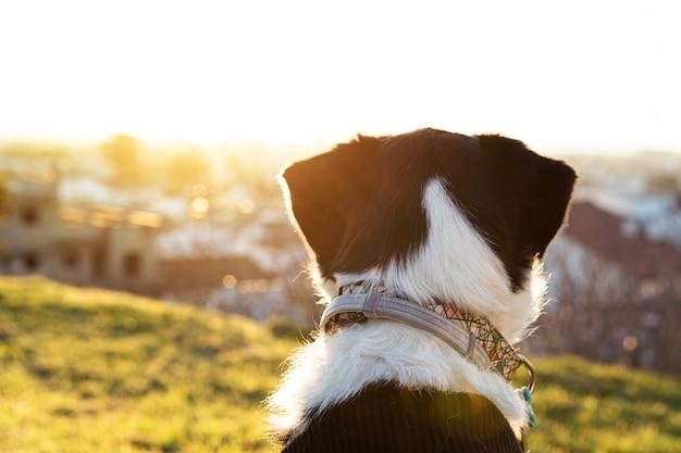 Retrato de um lindo cachorro preto e branco no parque com o pôr do sol olhando para o horizonte