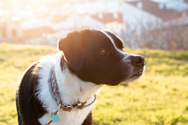Retrato de um lindo cachorro preto e branco no parque com o pôr do sol