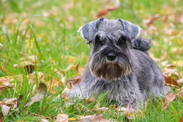 Retrato de um lindo cachorro schnauzer miniatura cinza barbudo deitado na grama no gramado, foco seletivo.