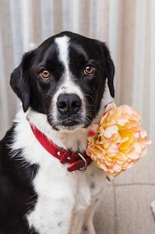 Retrato de um lindo cão preto e branco, vestindo uma flor em um sofá de tons neutros