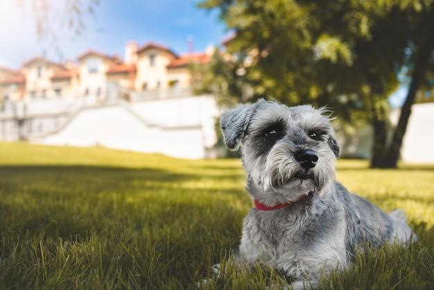 Retrato de um lindo cão schnauzer sentado na grama e olhando para longe no parque