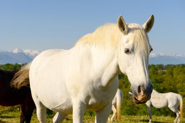 Retrato de um lindo cavalo branco