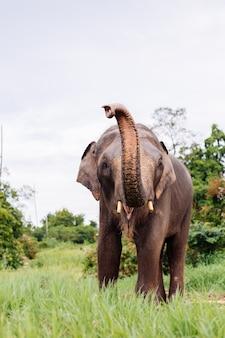 Retrato de um lindo elefante asiático tailandês em um campo verde elefante com presas cortadas aparadas