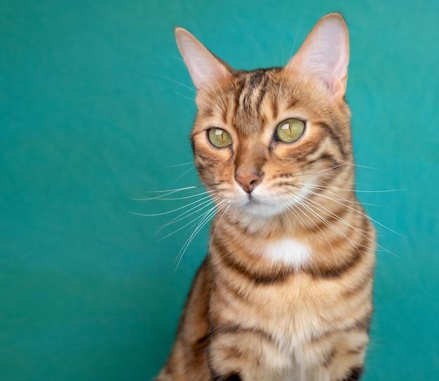 Retrato de um lindo gatinho de bengala em uma superfície verde, foto do estúdio