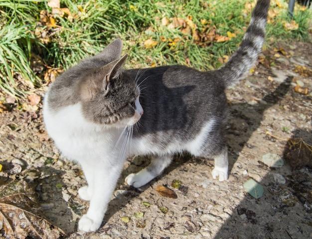 Retrato de um lindo gato cinza parado ao ar livre e se virando para olhar para trás